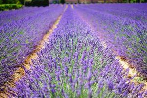 lots of lavender in a field