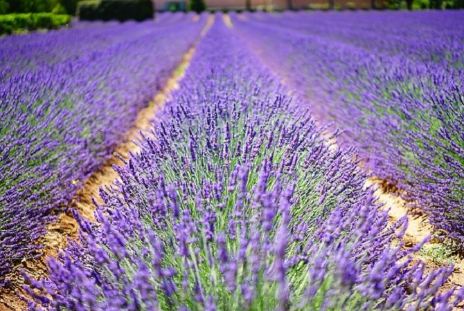 lots of lavender in a field
