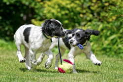 two spaniel puppies playing with toy in garden