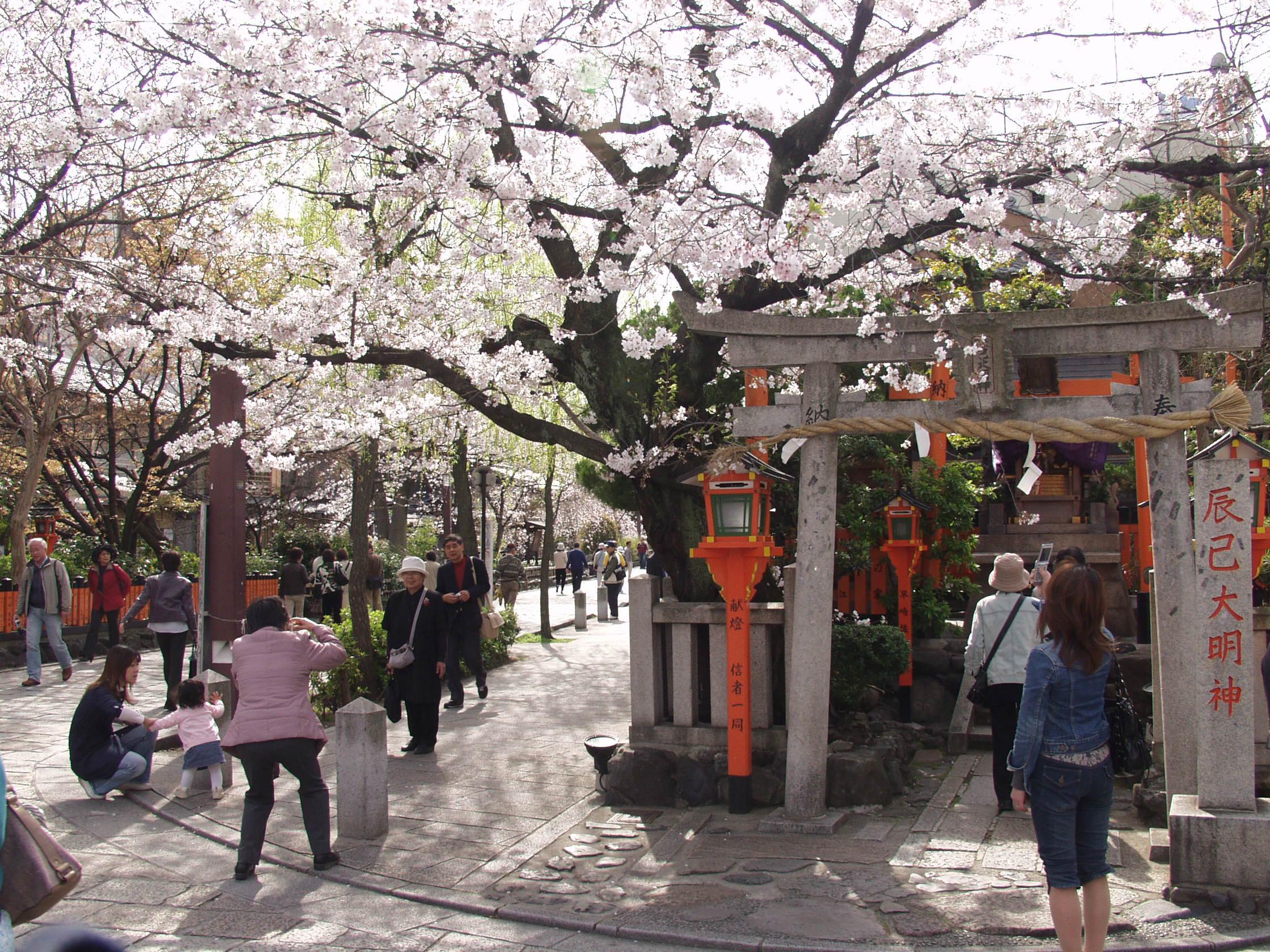 Sakura in Gion